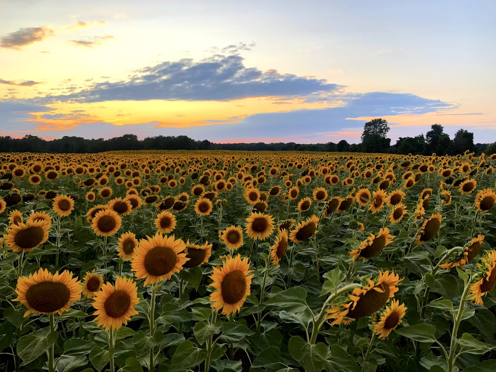 Sunflower Fields Prince Edward