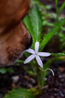 dog smelling white wild flower