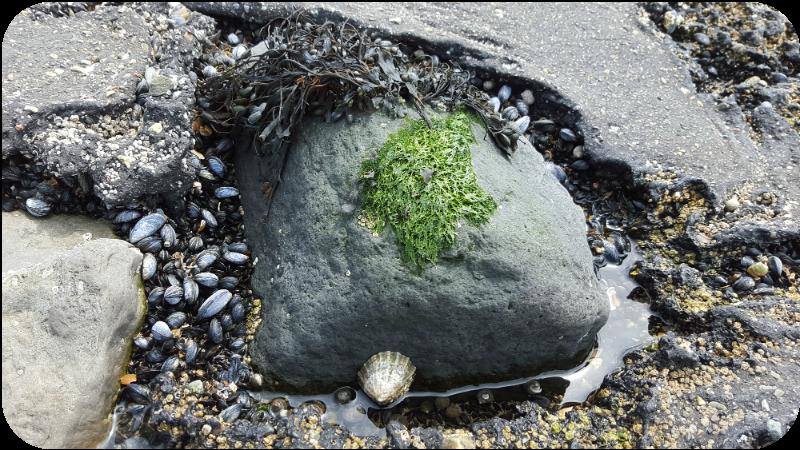 Algen und Muscheln am Strand um den Leuchtturm von Westkapelle | Arthurs Tochter Kocht von Astrid Paul