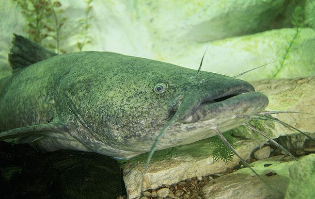 Flathead Catfish Kentucky