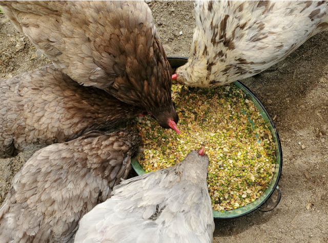 chickens eating homemade layer feed