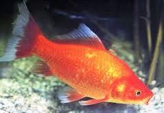 Il giardino delle naiadi carassius auratus pesce rosso for Carpa pesce rosso
