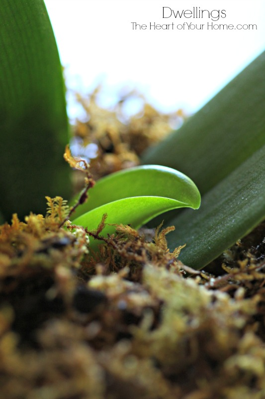 new growth on moth orchid