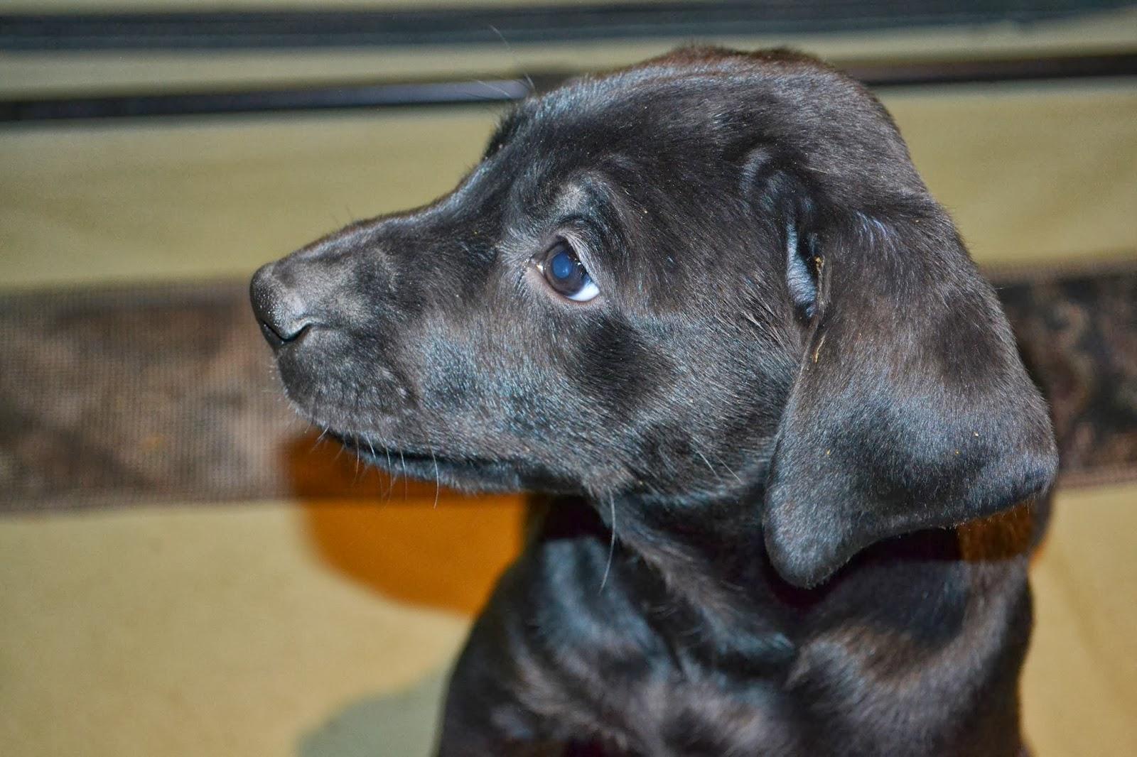 Puppies, Doberman Labrador mix babies, looking for their