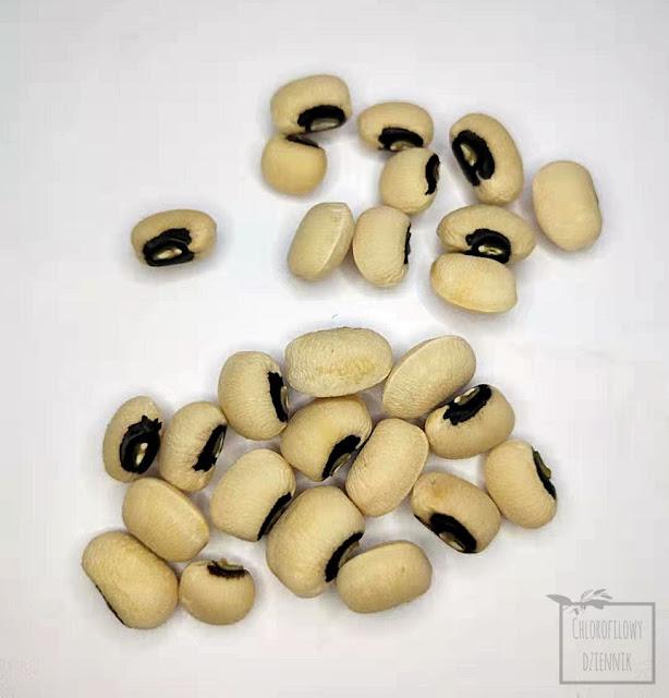 Wspięga wężowata, fasolnik, fasola, odmiany fasoli, Fabaceae, ciekawe warzywa azjatyckie z nasion, Vigna unguiculata subsp. unguiculata, cowpea, inaczej kowpea jadalna, black-eyed pea from seed, siew z fasolki, nasionka, pestki, pnącza, rośliny warzywne z Afryki i Azji, rośliny spokrewnione z fasolnikiem chińskim