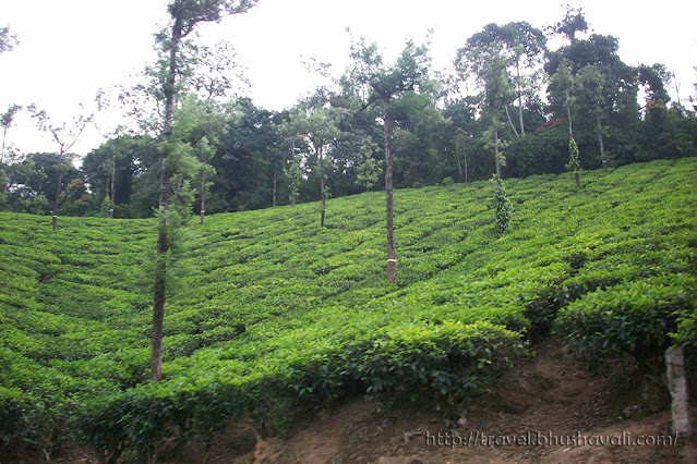 Tea Estates in Valparai