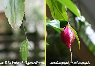 Epiphyllum Thomasianum fruit