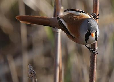 Bigotudo (Panurus biarmicus)