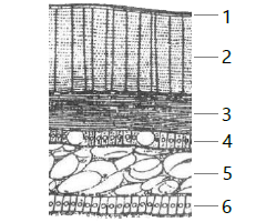 Struktur melintang Gastropoda