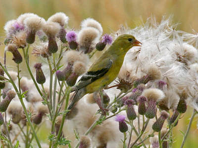 Photo of female American Goldfinch eating thistles