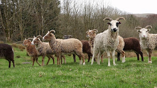 Soay Sheep Life Span, Temperament, Wool, Meat Quality, Price