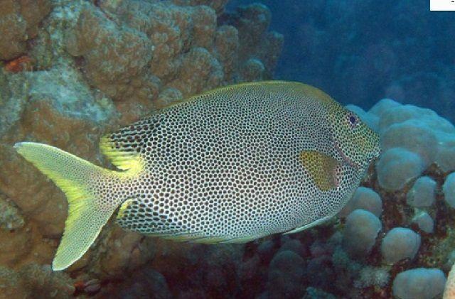 Ikan Baronang Lada