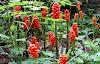 Δρακοντιά, άρον το στικτόν (Arum maculatum L)