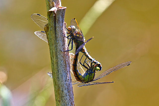 Tierfotos - Libellenfotos - Großlibellen - Großer Blaupfeil Paarung