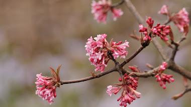 8 arbustos con flores fragantes en invierno