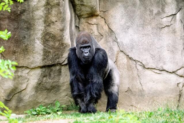 Gorila em seu Habitat Natural