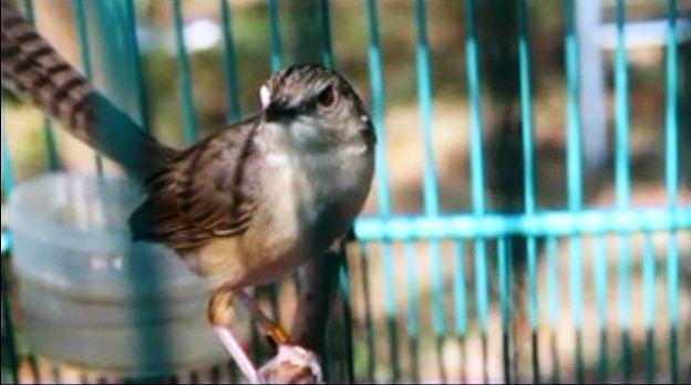 burung ini juga sebagai burung masteran Cara Perawatan ciblek Tangkapan Hutan