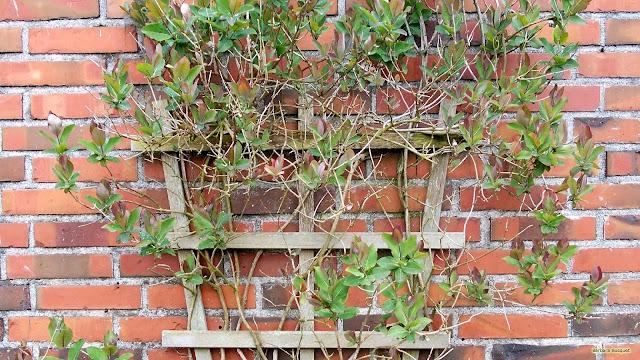 Bakstenen muur met tamme kamperfoelie