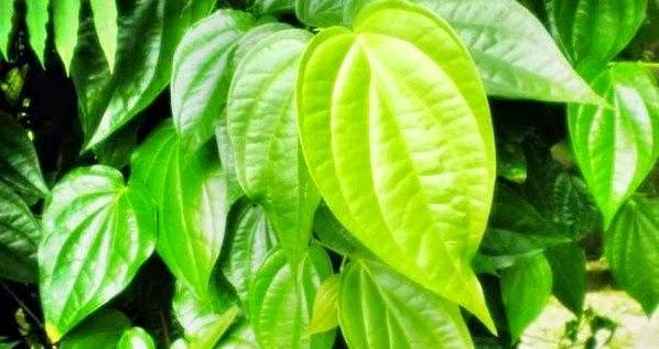 pohon sirih yakni pohon yang paling rimbun daunnya diantara banyak pepohonan di halaman  9 Manfaat Daun Sirih Sebagai Obat Tradisional Indonesia