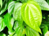 9 Manfaat Daun Sirih Sebagai Obat Tradisional Indonesia