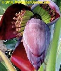 Banana Flower Producing Fruits