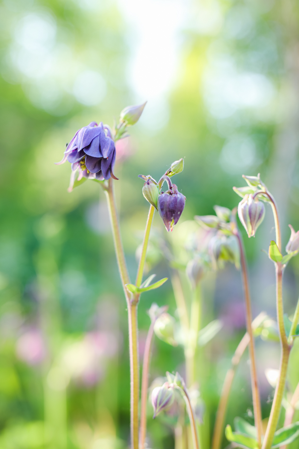 aquilegia-vulgaris-100outdoor