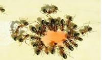 semut pemakan gula