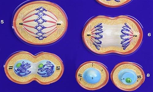 Mitoz Bölünmenin Özellikleri Hakkında Bilgi