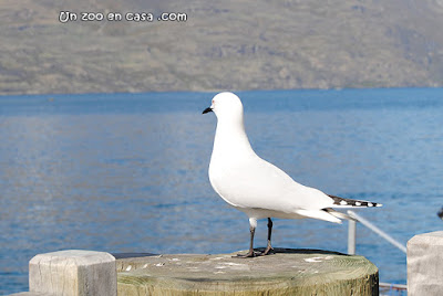 Black-billed Gull (Chroicocephalus bulleri)