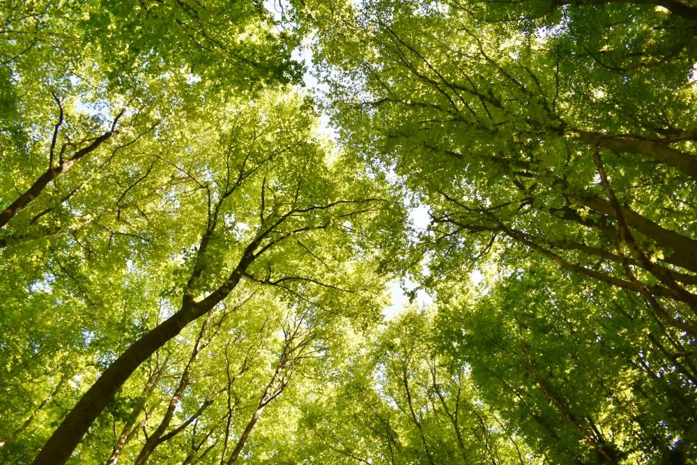 Buchenwälder Blätterdach