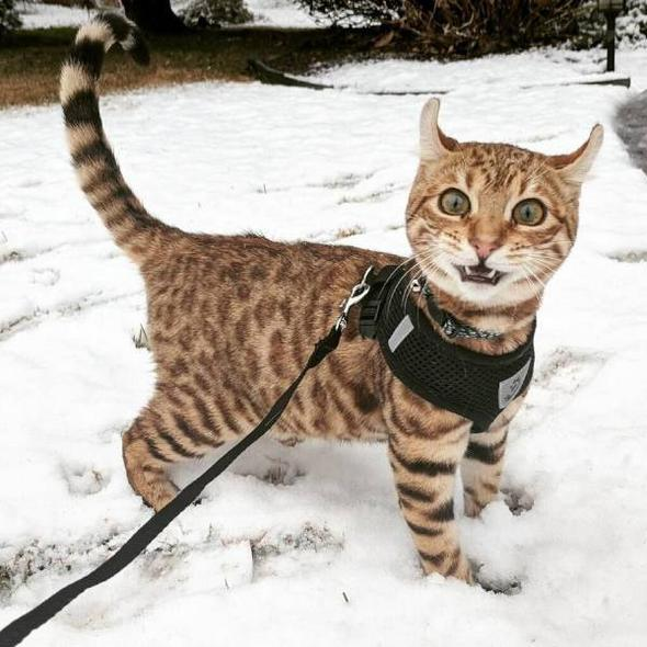 смешной кот на зимней прогулке