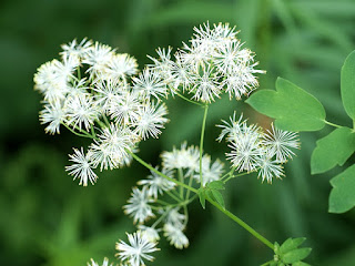 Pigamon pubescent - Thalictrum pubescens
