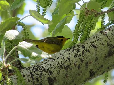 Wilson's Warbler California birding