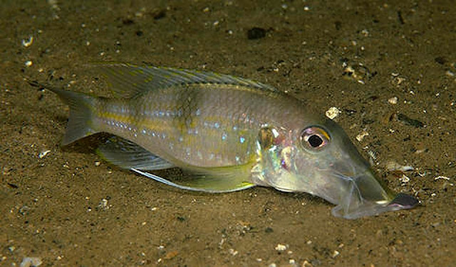 Jaws: How an African ray-finned fish is helping us to rethink the fundamentals of evolution