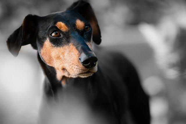 jenis-anjing-penjaga-rumah