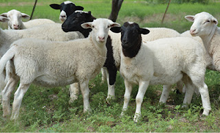 Polypay Sheep Disadvantages, Advantages, Wool Quality, Price