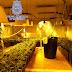 Descubren en Olías del Rey una plantación de marihuana con capacidad para producir 130 kilos