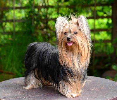 Historia Yorkshire Terrier