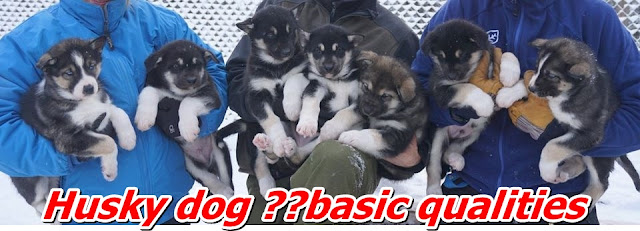 Husky dog ​​basic qualities