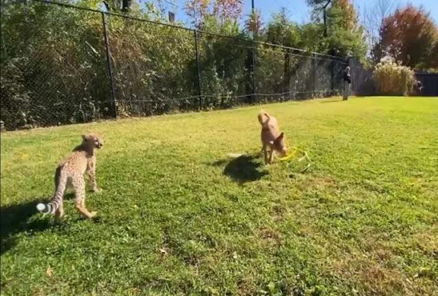 सोशल मीडिया पर छाई चीता और कुत्ते की दोस्ती की कहानी, वीडियो भी हुआ वायरल
