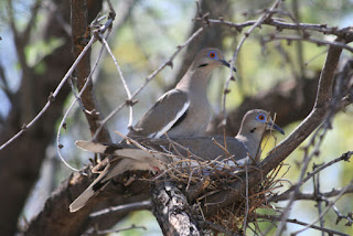 2 white winged doves (an adult and a juvenile) sitting in a nest in the branches of a tree.