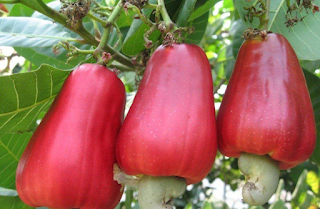 Cashew Apple For Skin Eyes Anemia Cancer