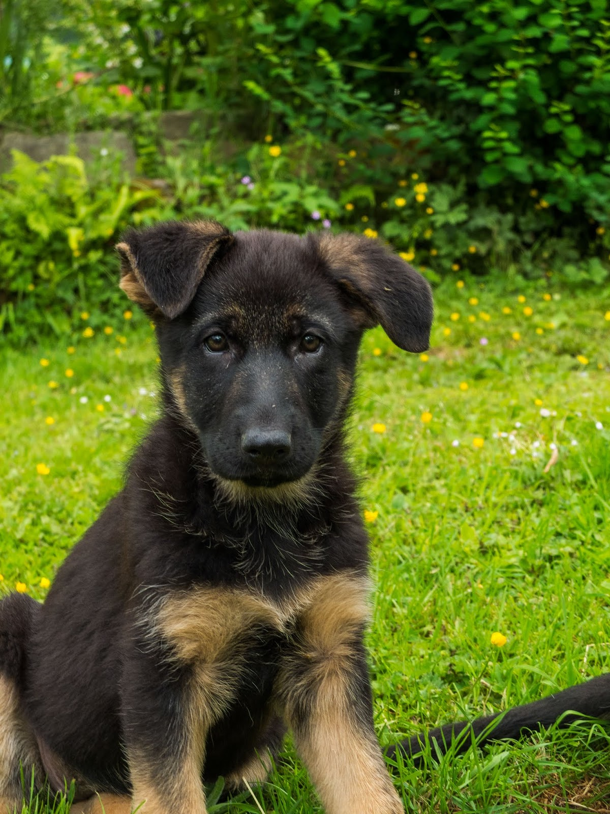 A portrait of a two month old German Shepherd puppy sitting in the grass looking directly at the camera.