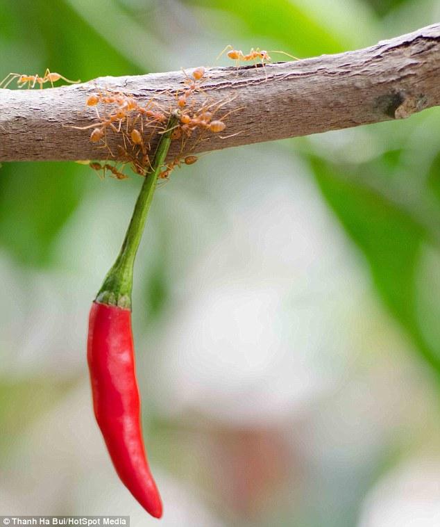 Rangrang - Binaragawan dari Dunia Serangga