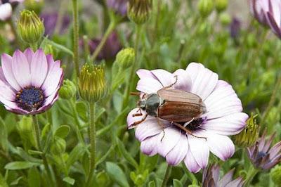 hình ảnh con bọ cánh cứng phá hoại trên cây hoa hồng