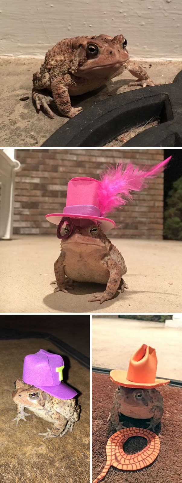 40 Heartwarming Pictures Of Animals - This Toad Kept Coming To My Porch, So I Started Making Him Tiny Hats