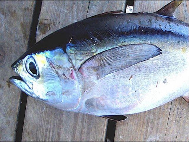 Gambar Ikan Tuna