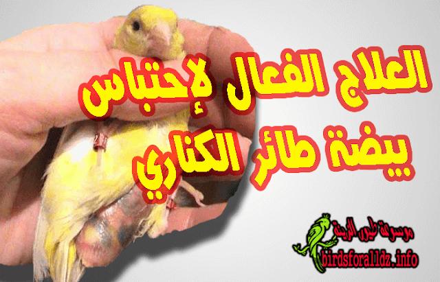 العلاج الفعال لإحتباس بيضة طائر الكناري