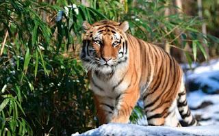 न्यूयॉर्क में बाघ में कोरोना वायरस का संक्रमण मिलने के बाद अलीपुर चिड़ियाघर में बढ़ाई जाएगी निगरानी