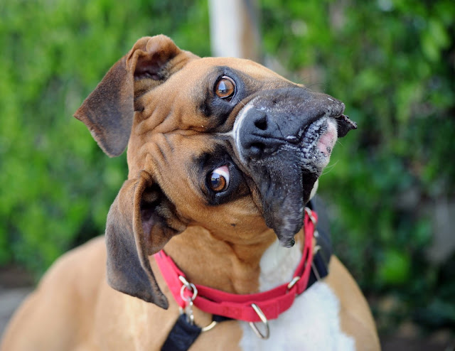 Why Do Dogs Tilt Their Heads? What Is Your Dog Trying to Communicate?